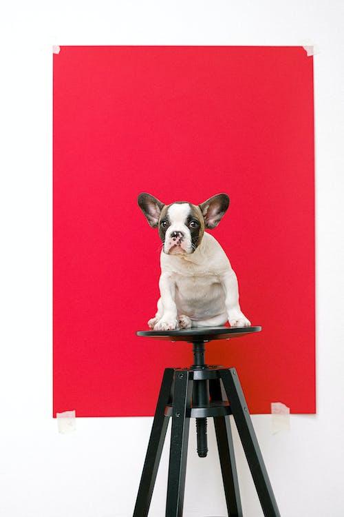Fotobanka sbezplatnými fotkami na tému buldog, červené pozadie, cicavec