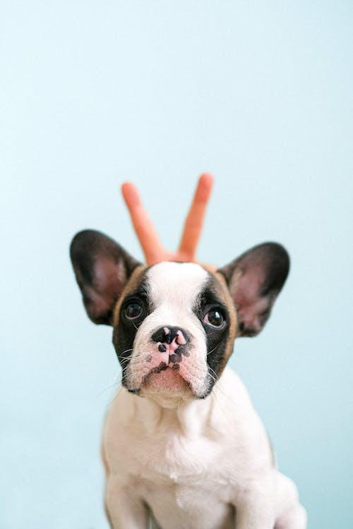 Puppy French Bulldog in a Studio Shot