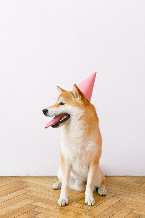 Shiba Inu Wearing Party Hat