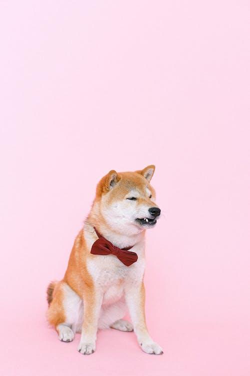 Shiba Inu Wearing Bowtie