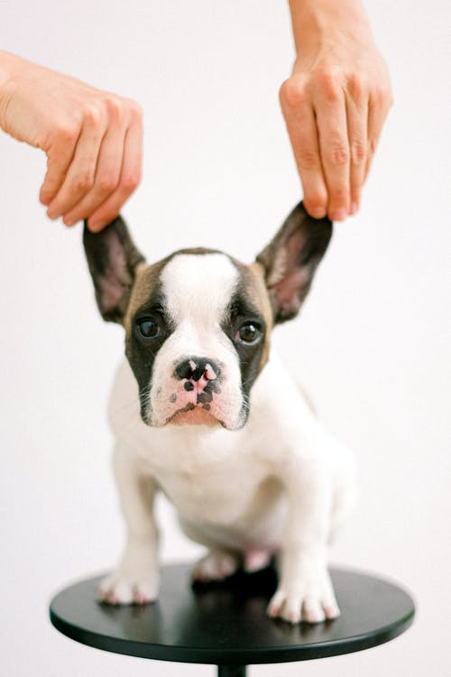 Person Holding the Ears of a Bulldog Puppy