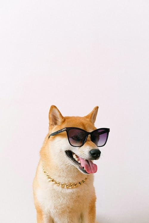 Shiba Inu Wearing Sunglasses
