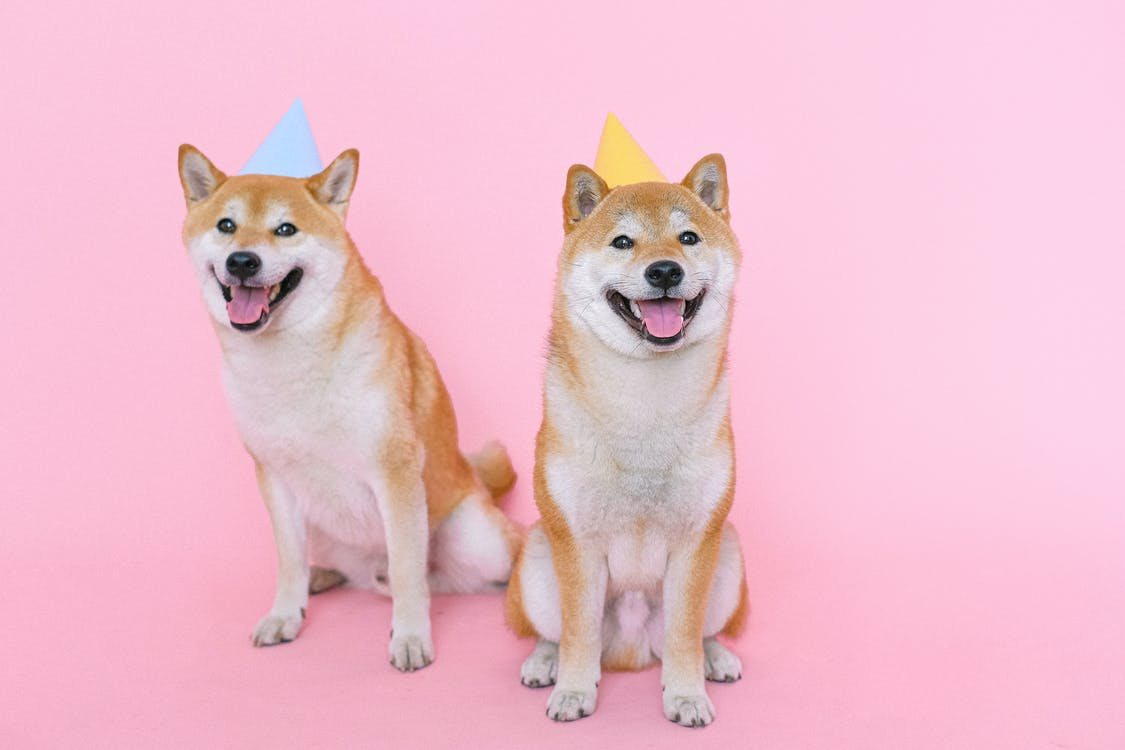 Shiba Inu Dogs Wearing Party Hats
