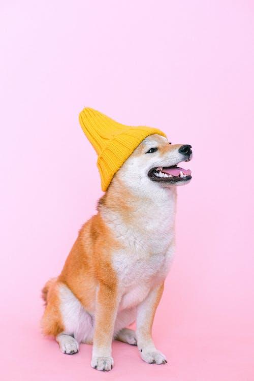 Shiba Inu Wearing Beanie Hat