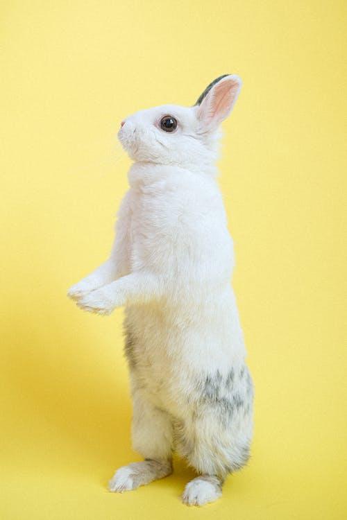 Rabbit Standing on Two Legs