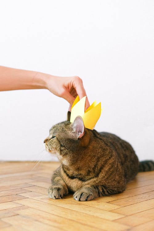 Person Putting Crown on Cat