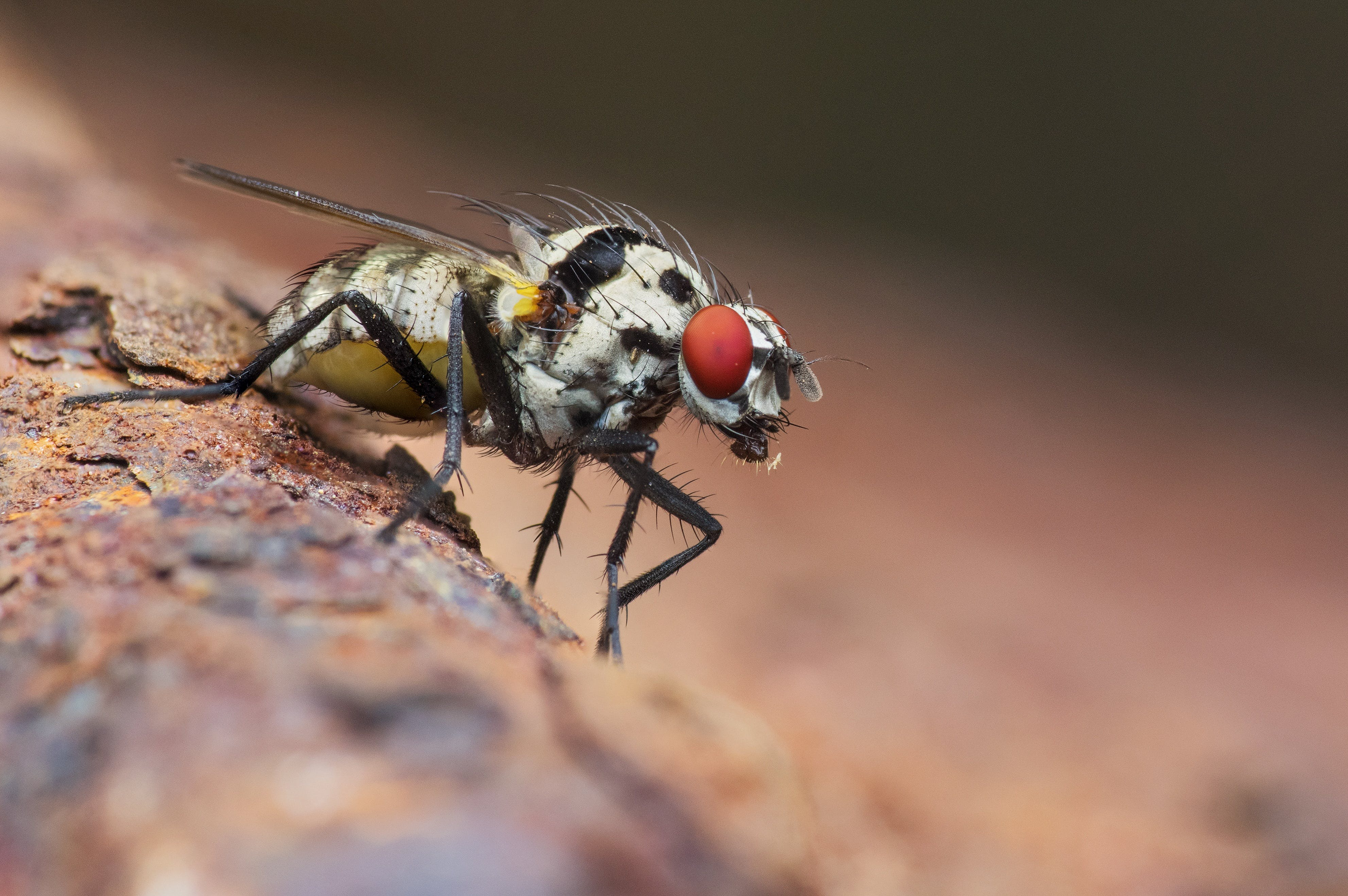 Gray and Black Fruit Fly in Macro Photography