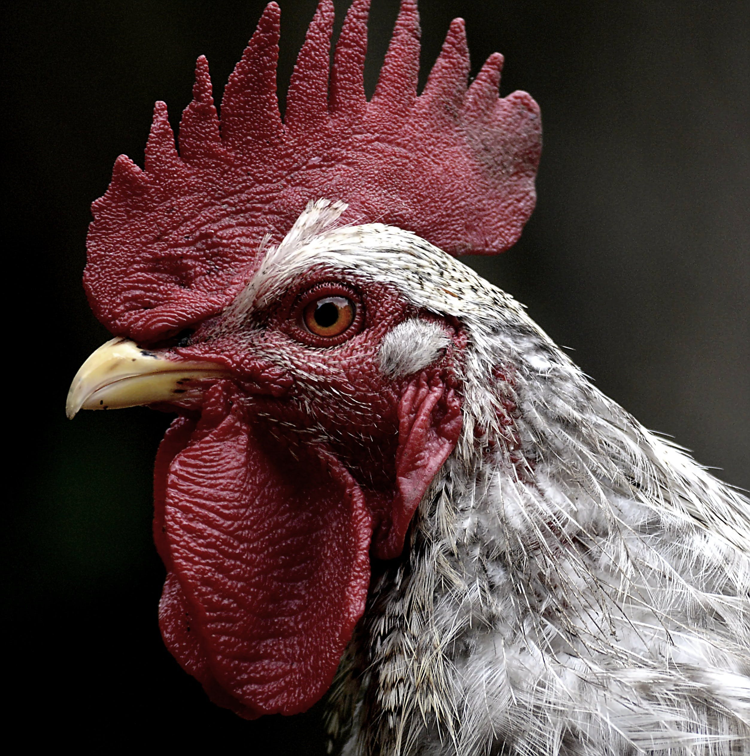 White and Red Rooster