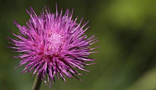 アザミ, アザミの花, シーズン, フォーカスの無料の写真素材