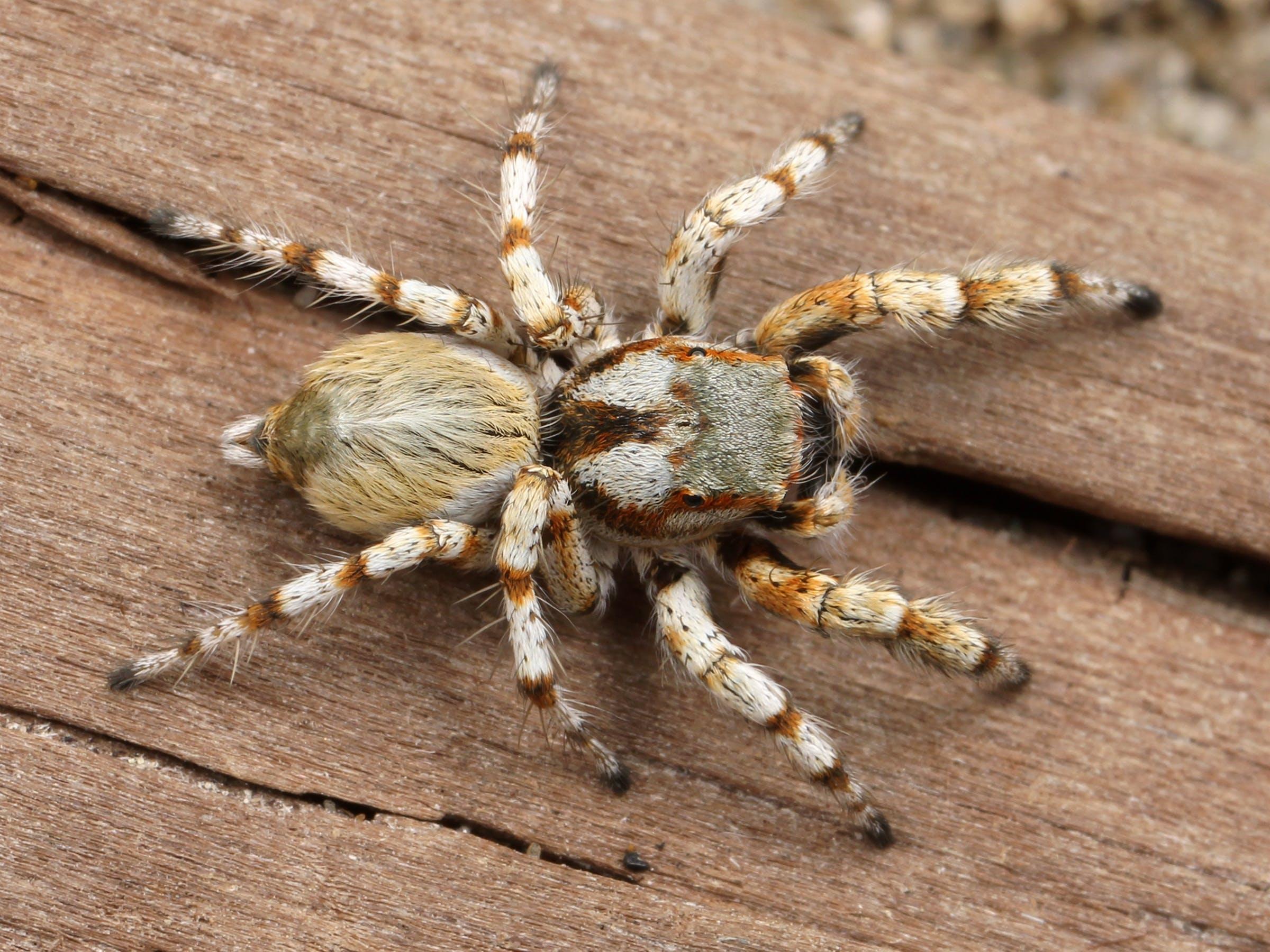 White and Brown Tarantula