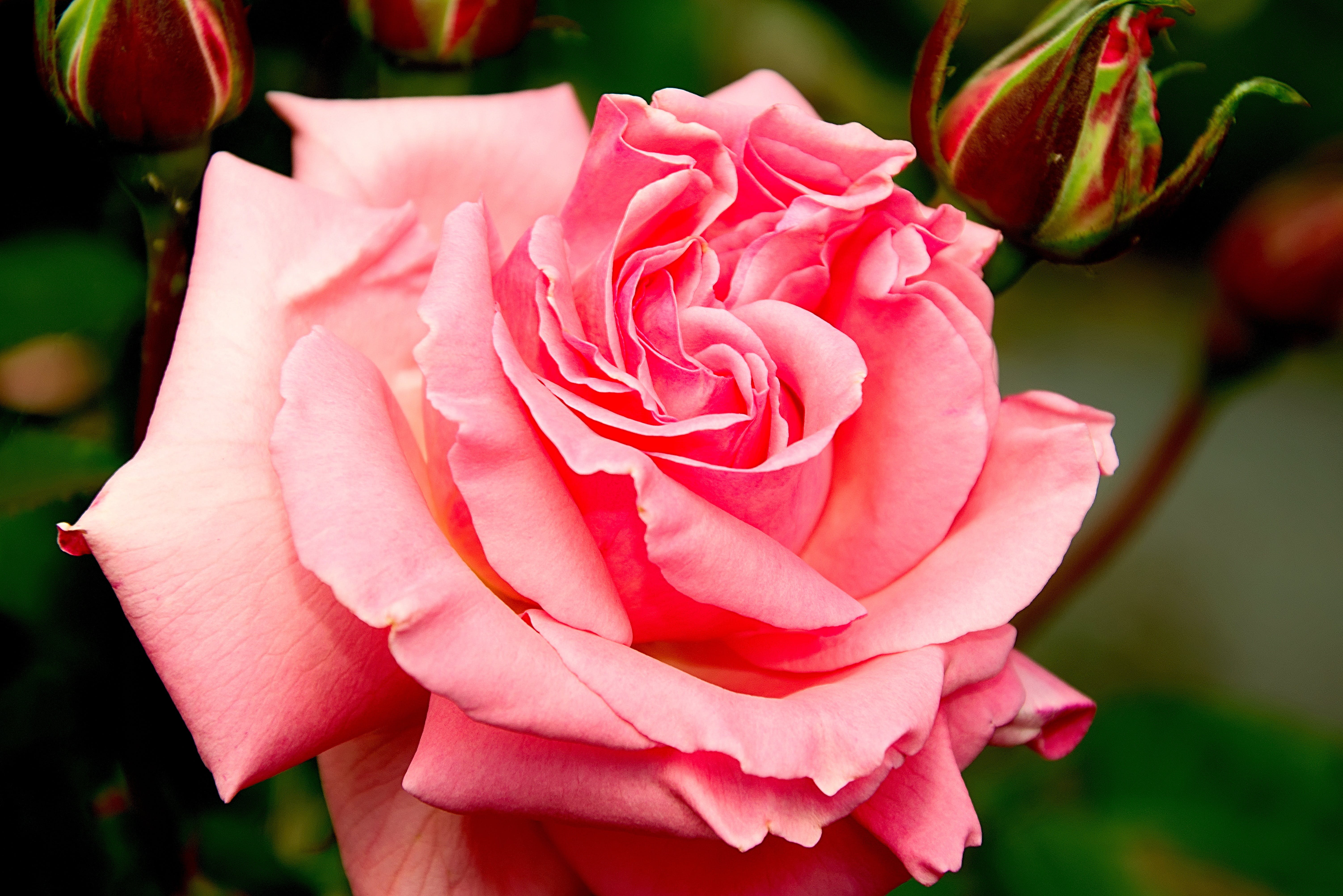 Free stock photo of nature, pink, rose, bloom