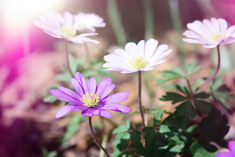 Free stock photo of anemone, balkan anemone, beautiful, bloom