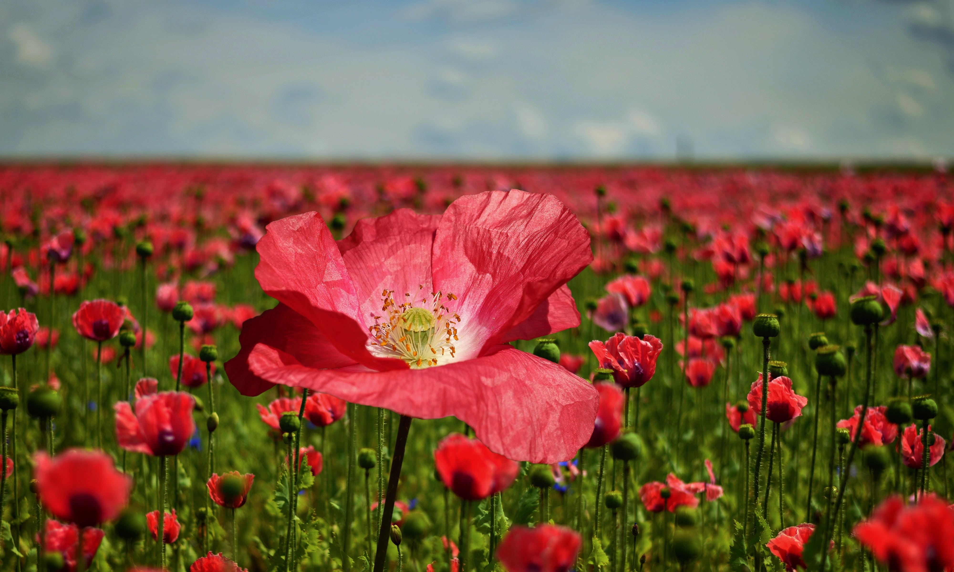Field of Red Petaled Flowers