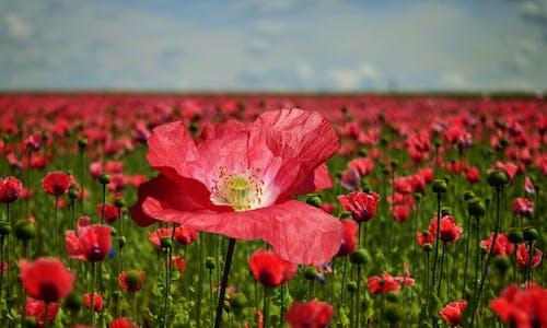 Foto d'estoc gratuïta de bonic, camp de flors, cel, concentrar-se