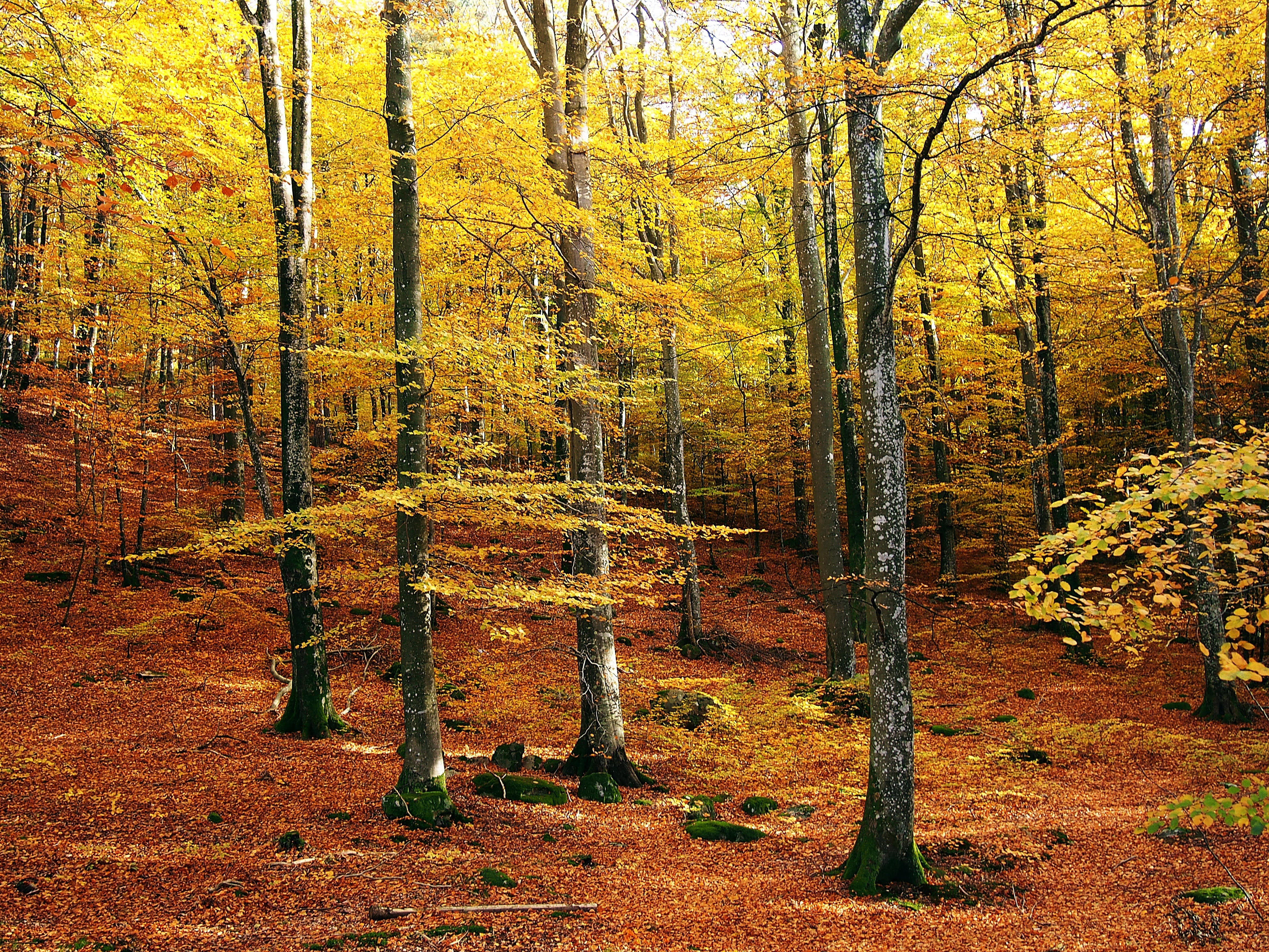 Free stock photo of nature, forest, autumn, sweden