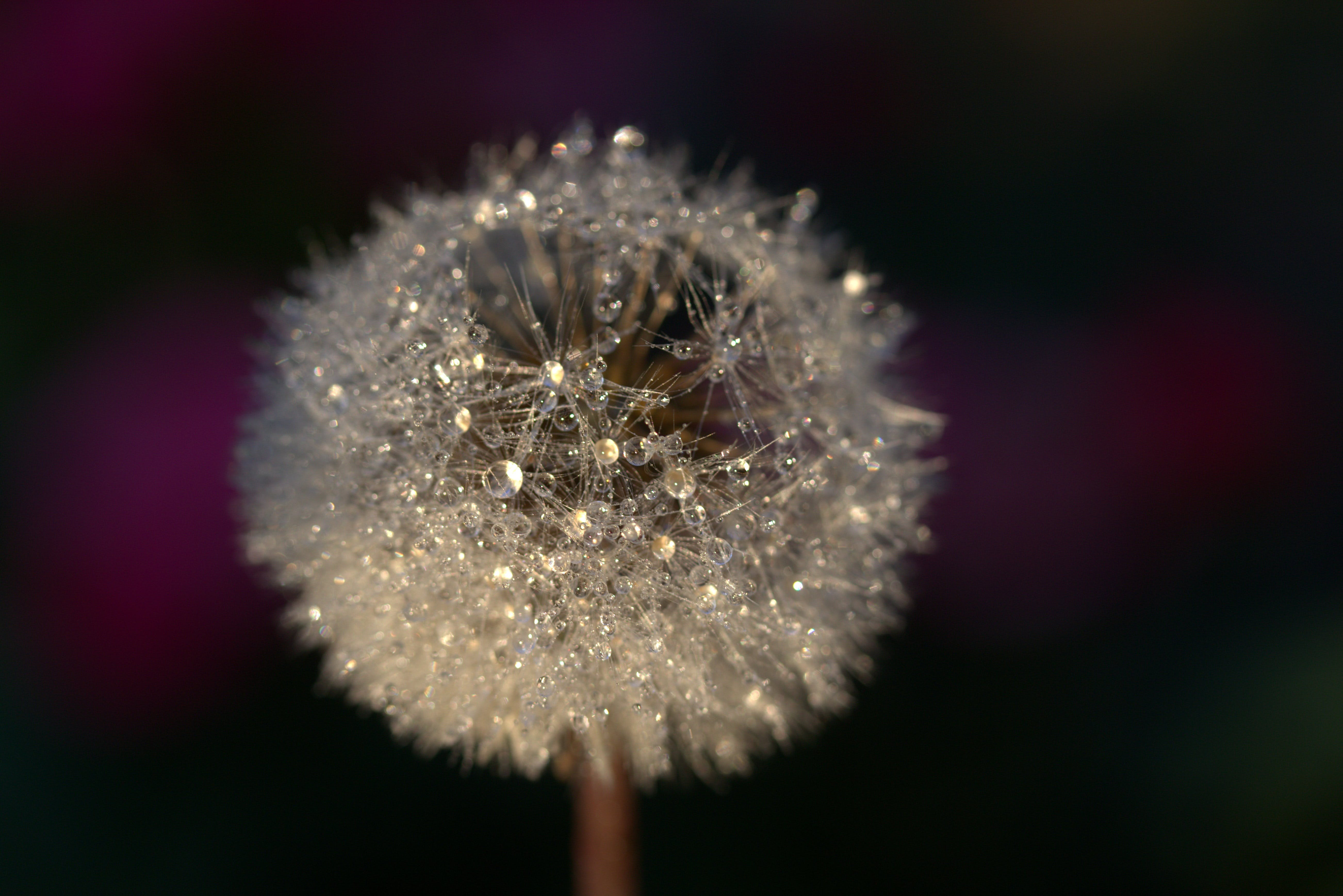 Free stock photo of blur, macro, dandelion, flora