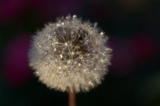 Free stock photo of blur, macro, dandelion, flora