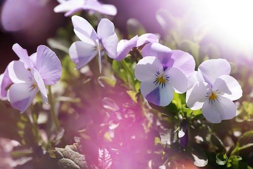 Fotobanka sbezplatnými fotkami na tému aromaterapia, detailný záber, farba, hracie pole