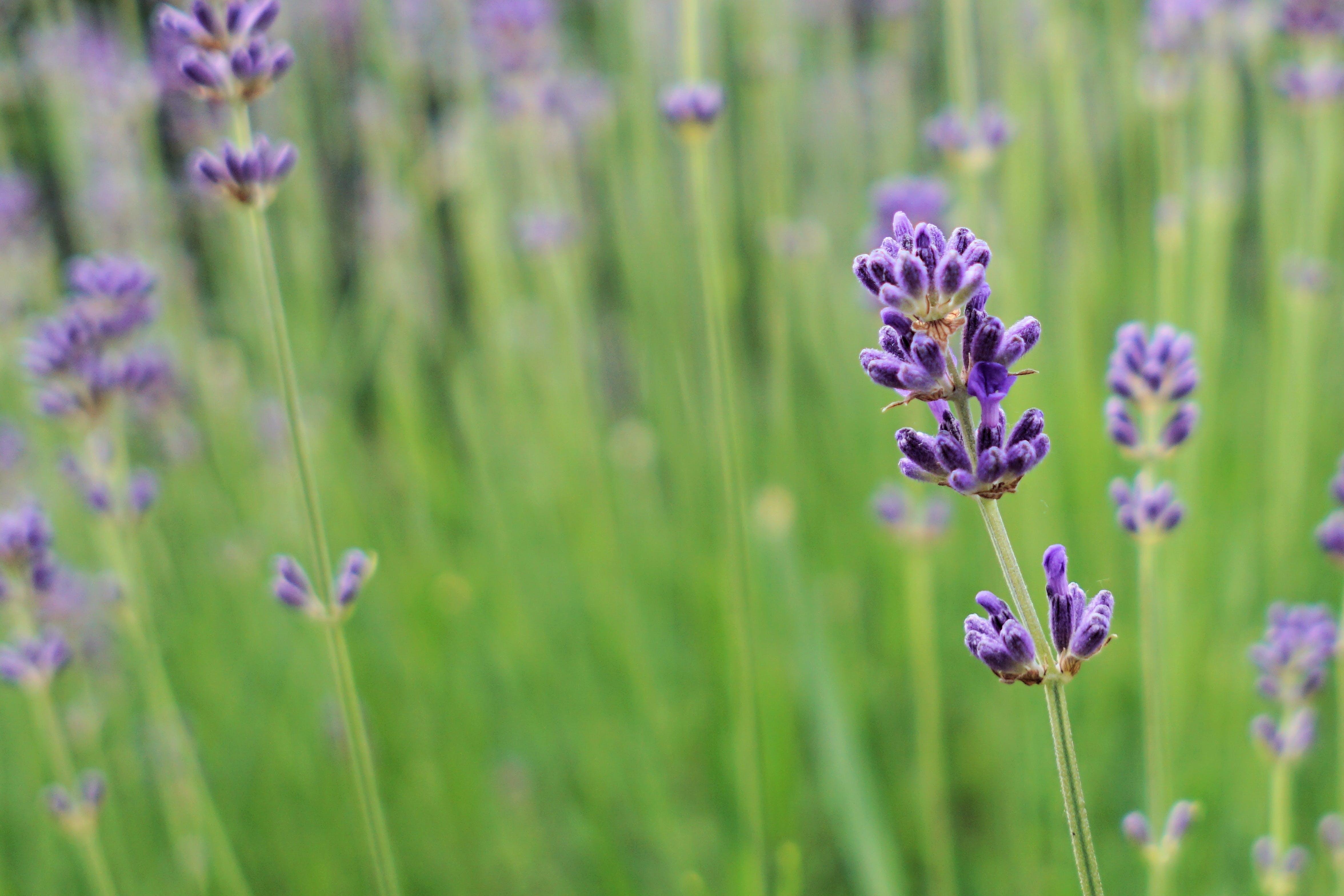 Kostenloses Stock Foto zu aromatherapie, aromatisch, außerorts, blühen