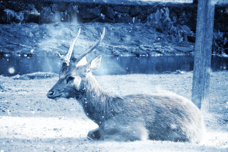 Reindeer Laying on Ground