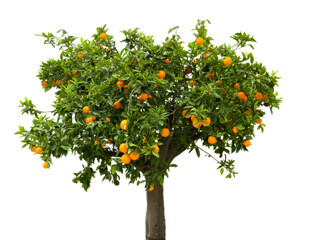 Free stock photo of food, nature, tree, orange