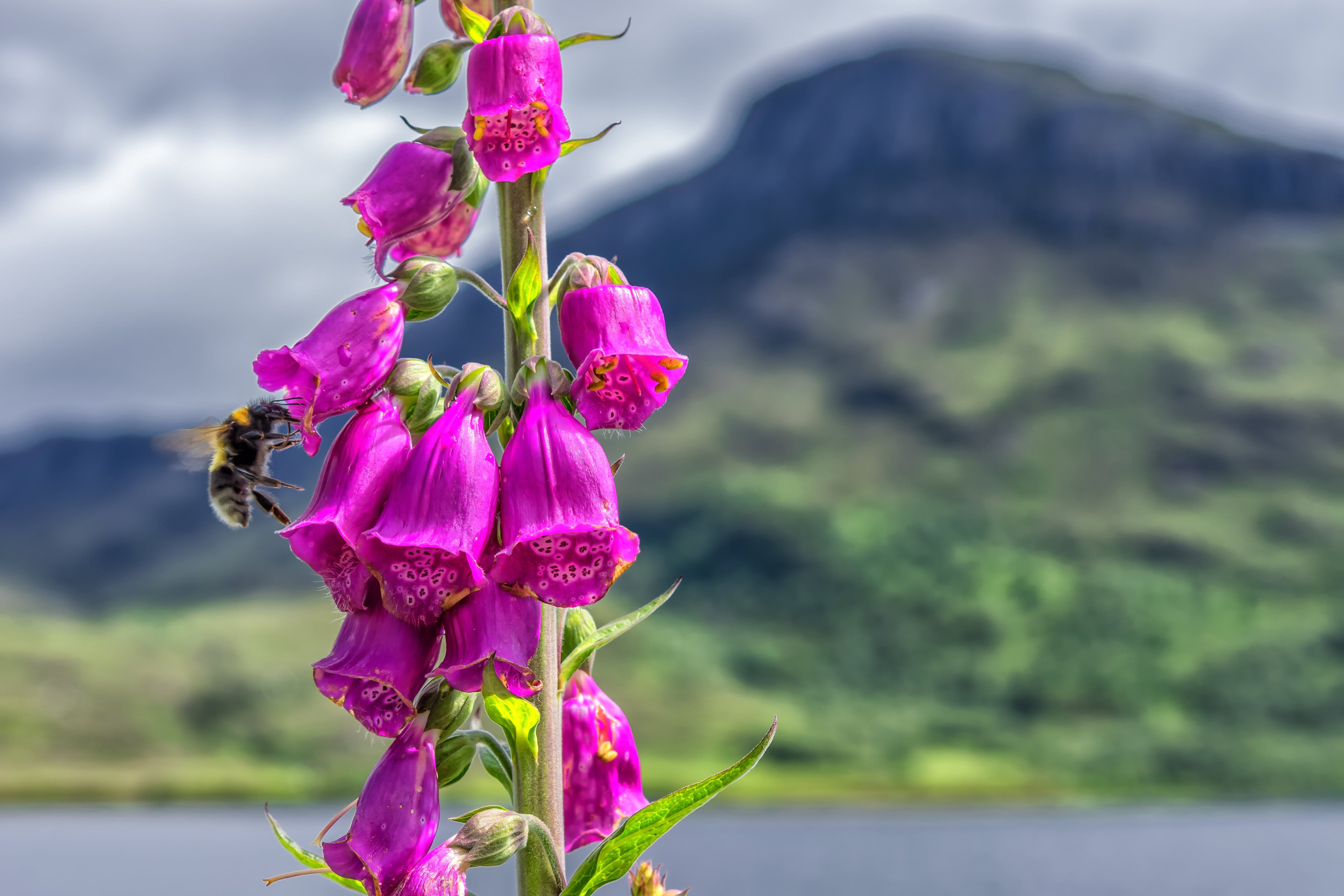 Selective Focus Photography of Bee on Pink Petaled Flowers