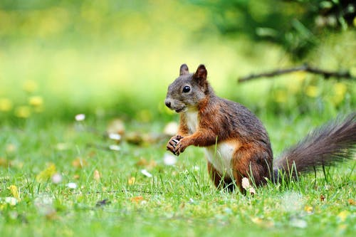 Squirrel on Grass