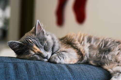 Silver Tabby Cat Lying on Blue Denim Jeans