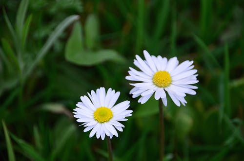 Two White Daisy Flowers in Bloom