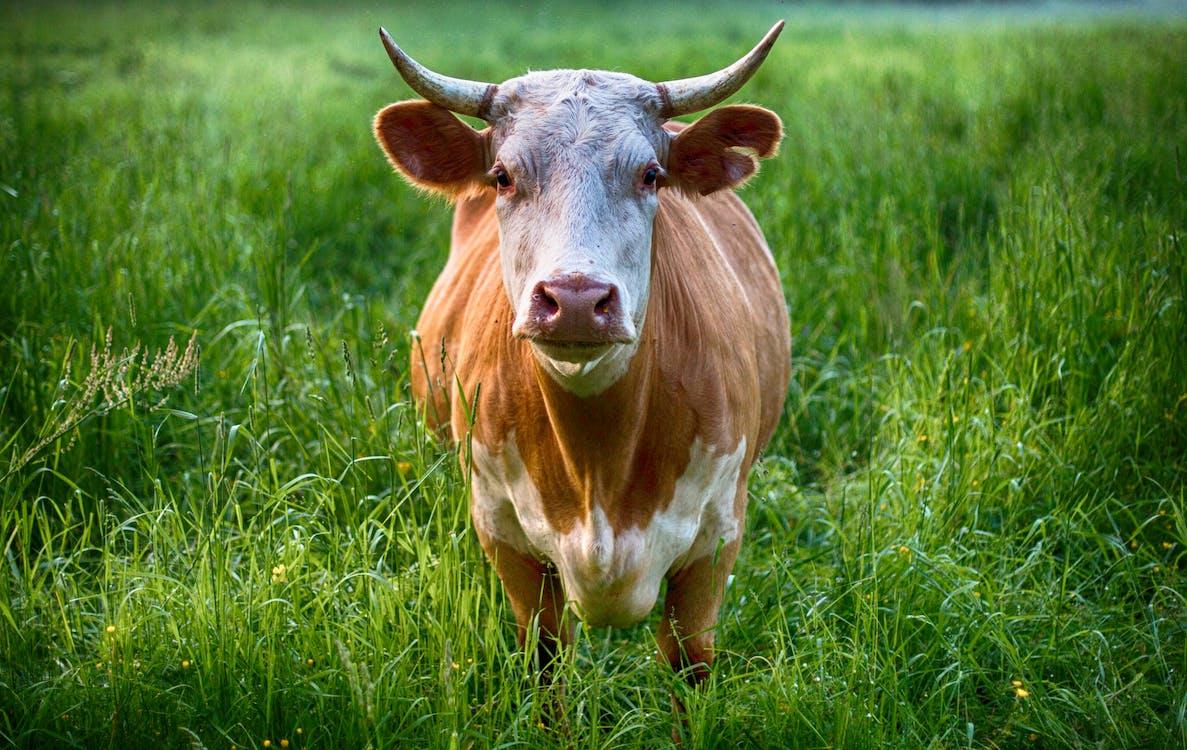 una vaca en el pasto