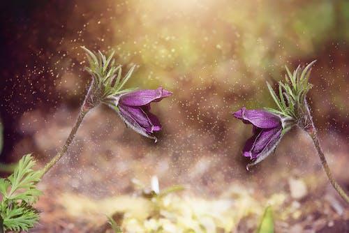 Fotobanka sbezplatnými fotkami na tému blízky, botanický, detailný záber, fialová