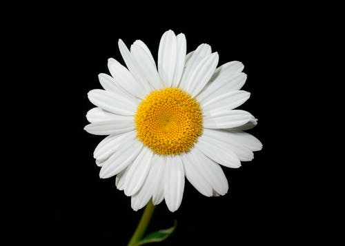 White and Yellow Daisy Flower Close-up Photography