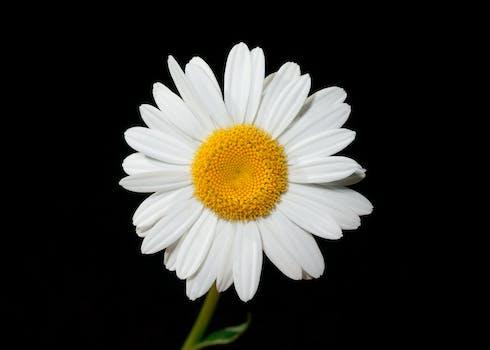 بستان ورد المصــــــــراوية - صفحة 2 Oxeye-daisy-flower-ox-eye-white-45901