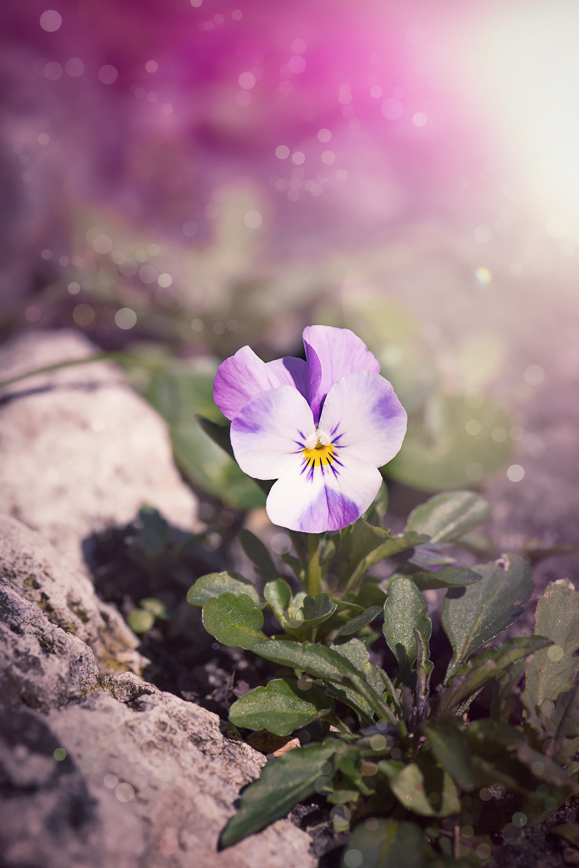 Purple and White Pansy Flower