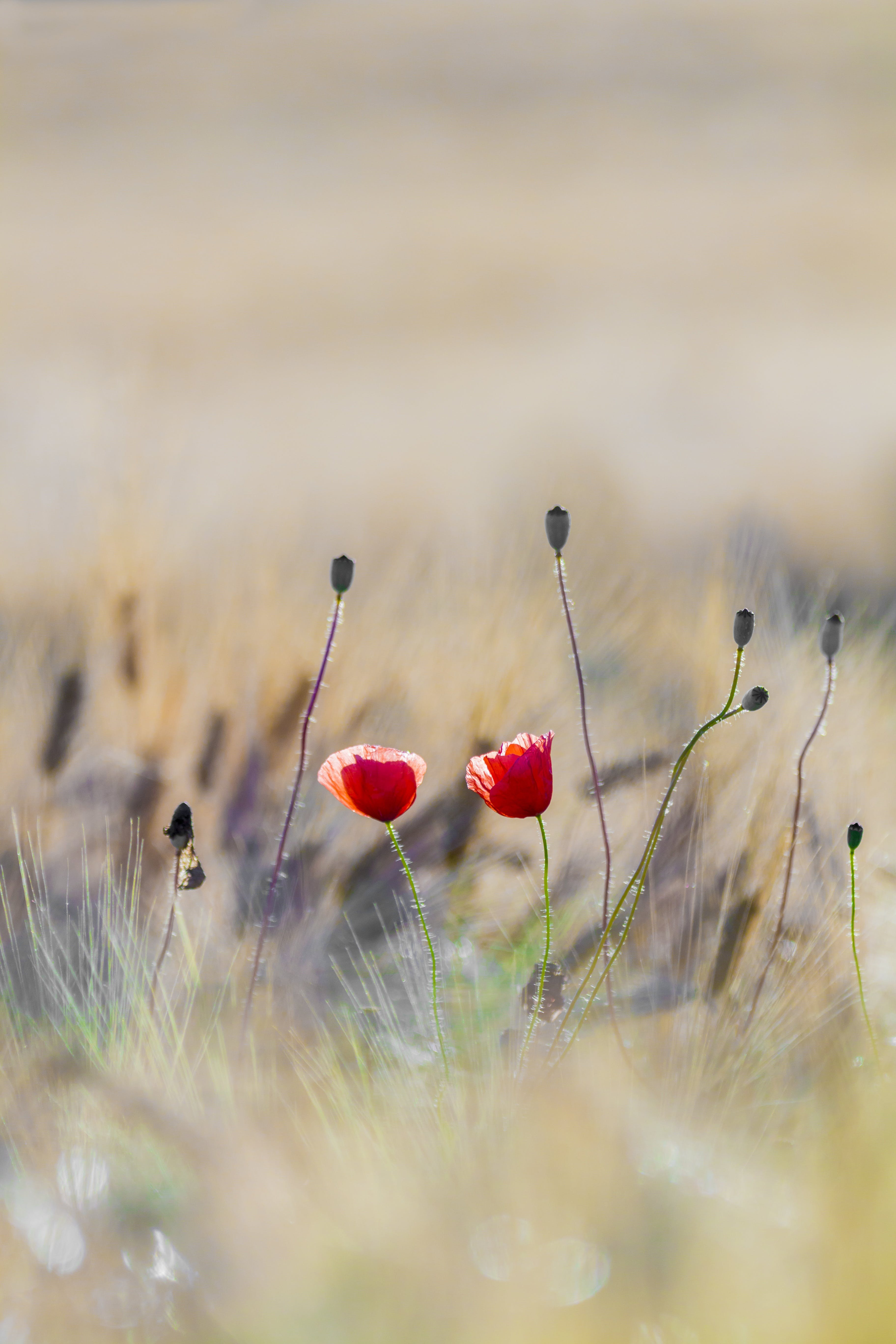 Red Flowers in Middle of Grass Field