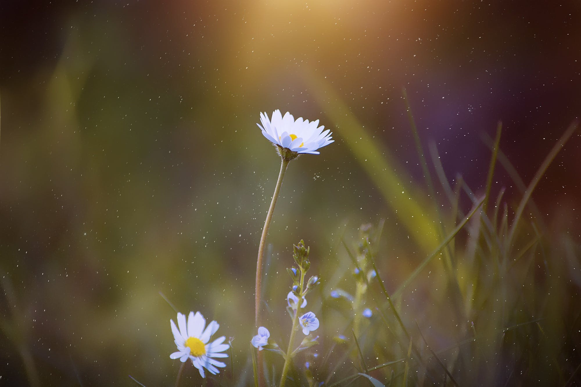 Selective Focus Photography White Daisy Flower