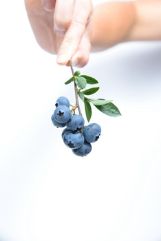 Person Holding Black Currants