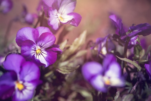 Free stock photo of nature, flowers, purple, garden