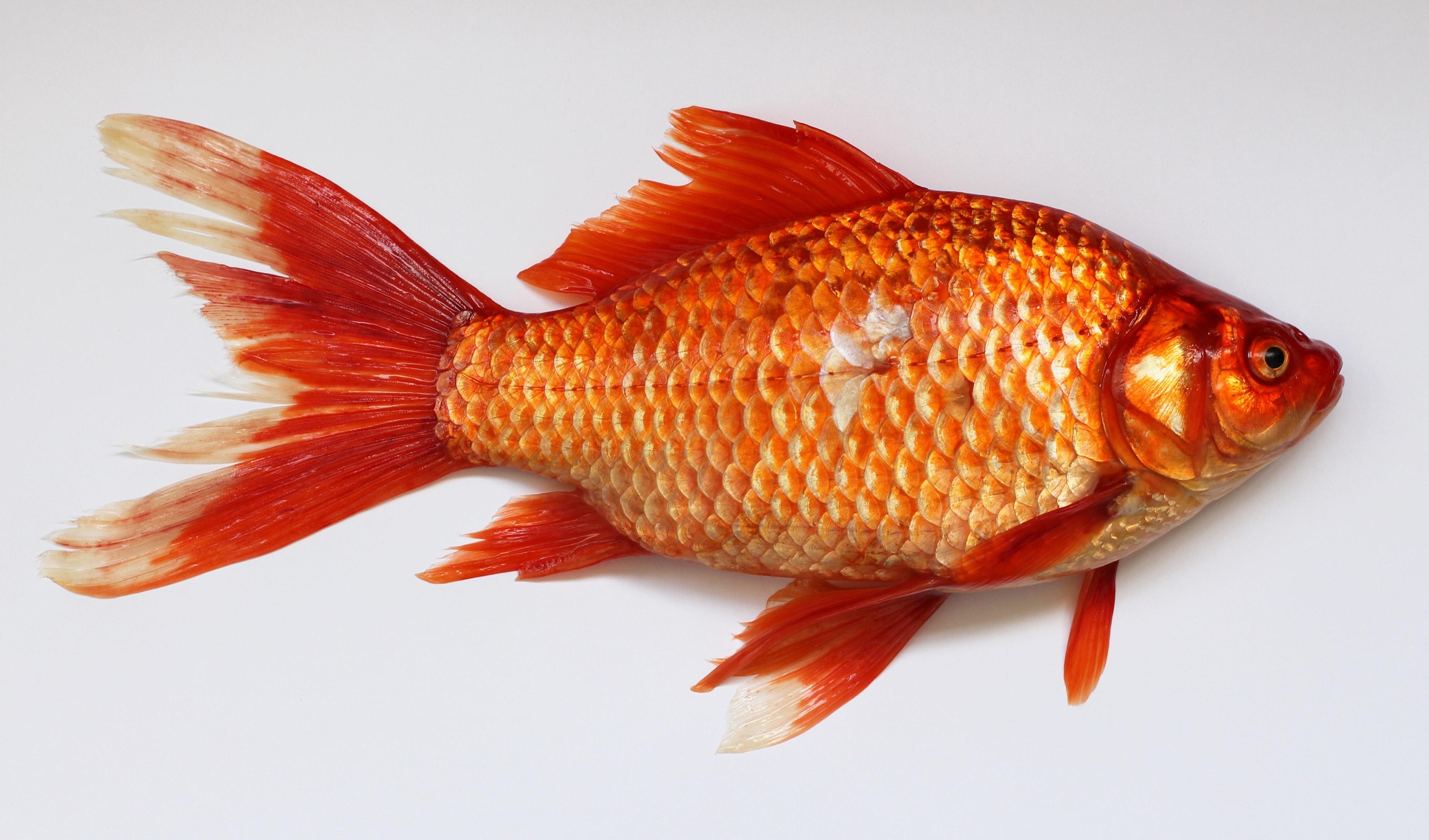 Red Fish · Free Stock Photo