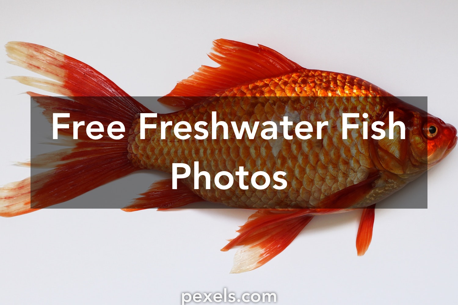 250+ Beautiful Freshwater Fish Photos · Pexels · Free Stock Photos