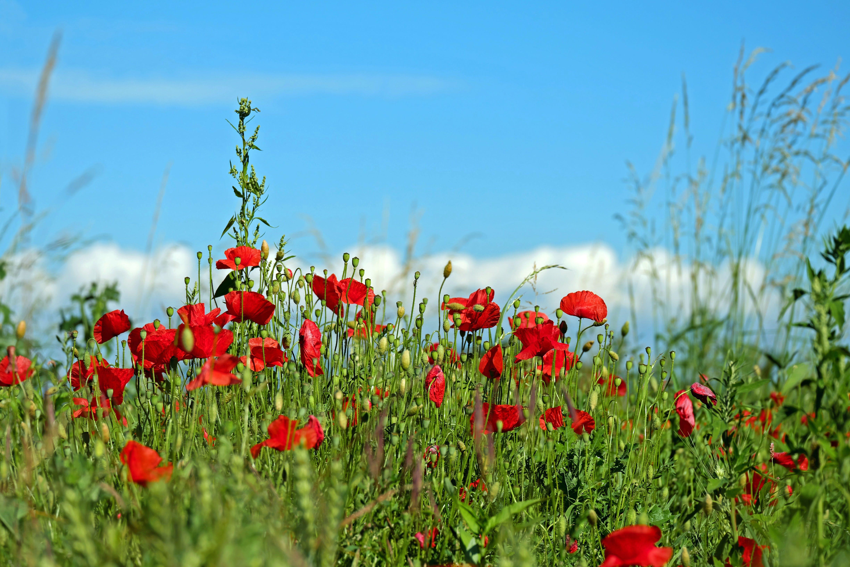 Free stock photo of field of poppies, klatschmohn, landscape, meadow