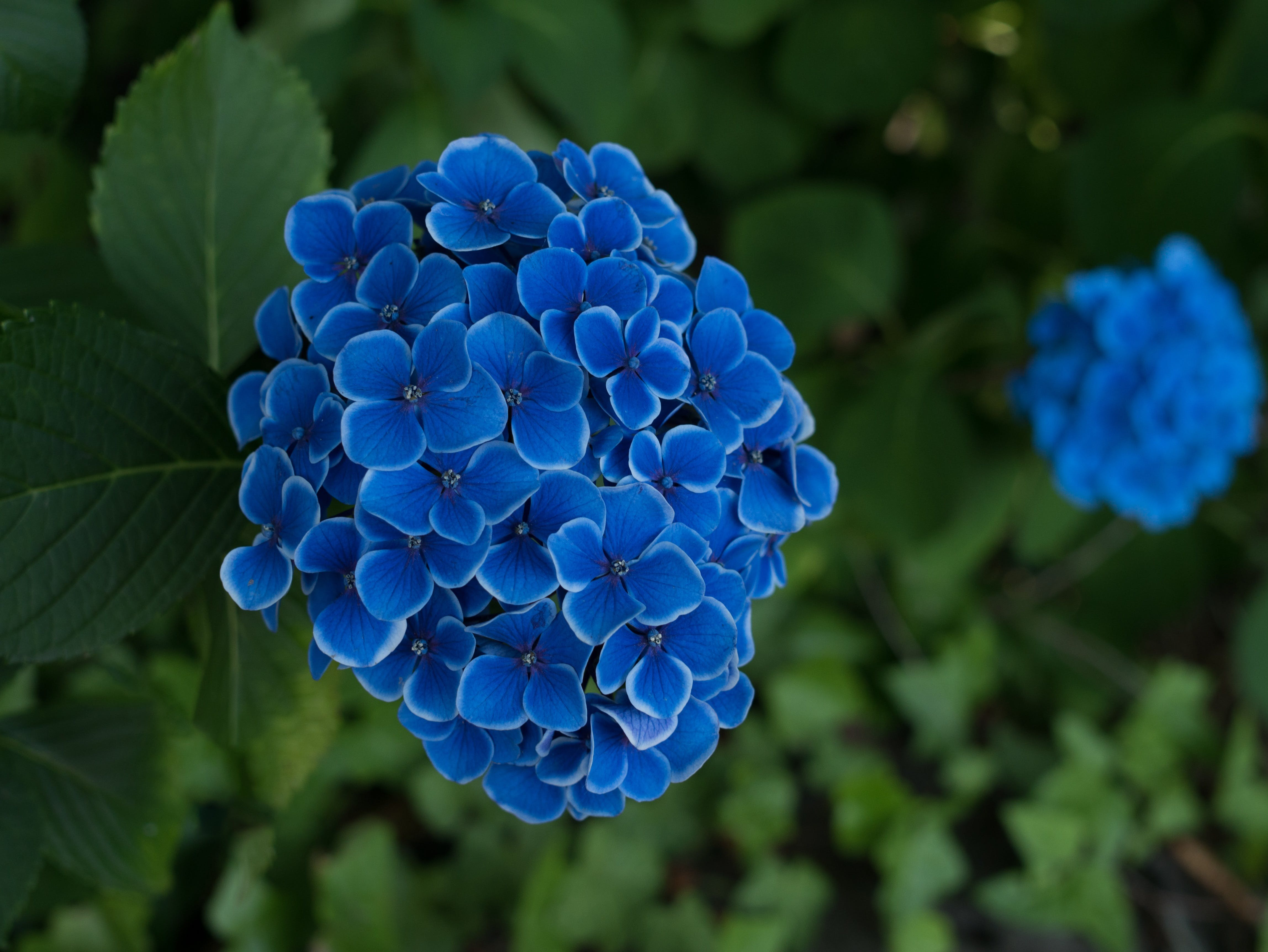 Free stock photo of nature, flowers, blue, flower