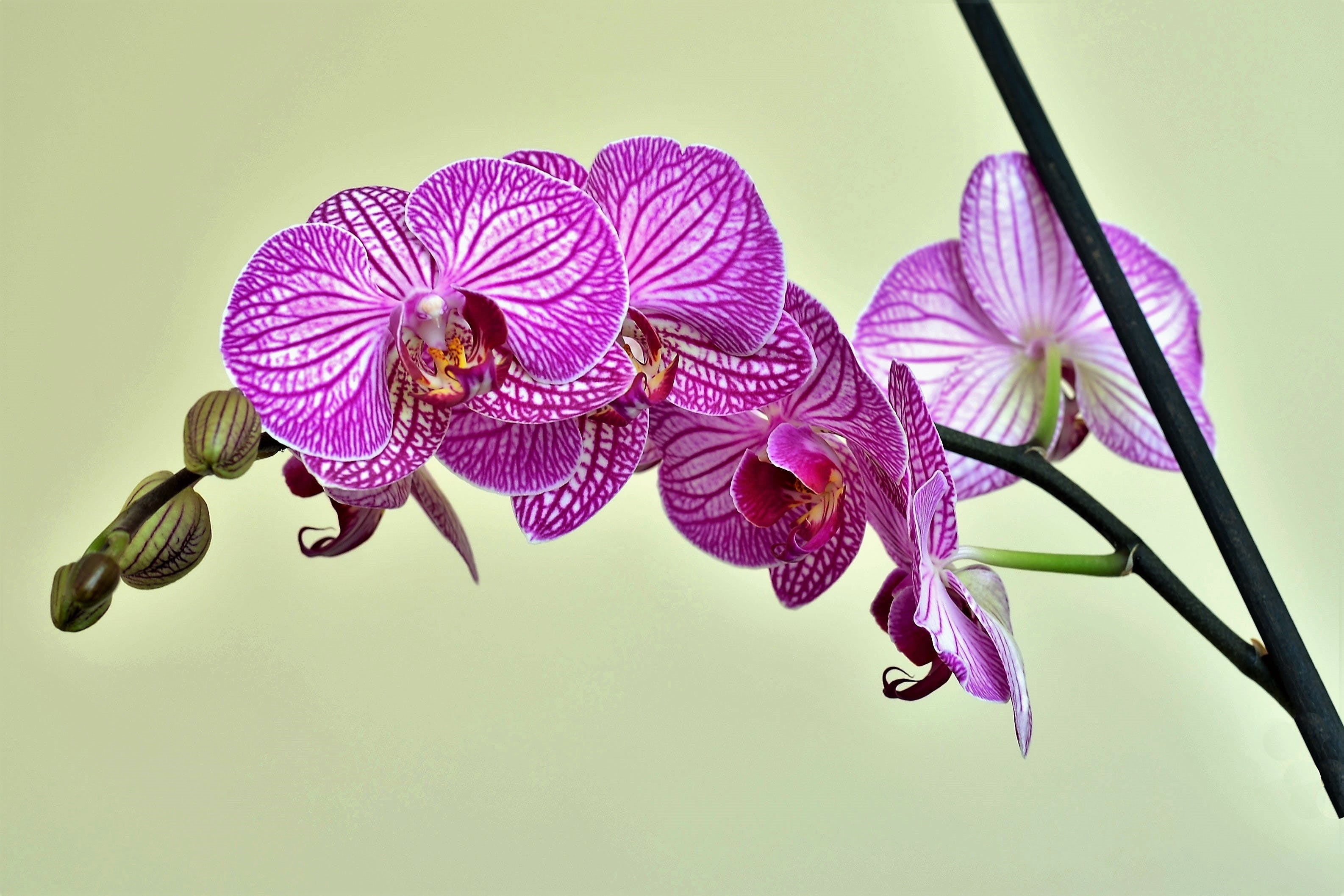 Purple Moth Orchids