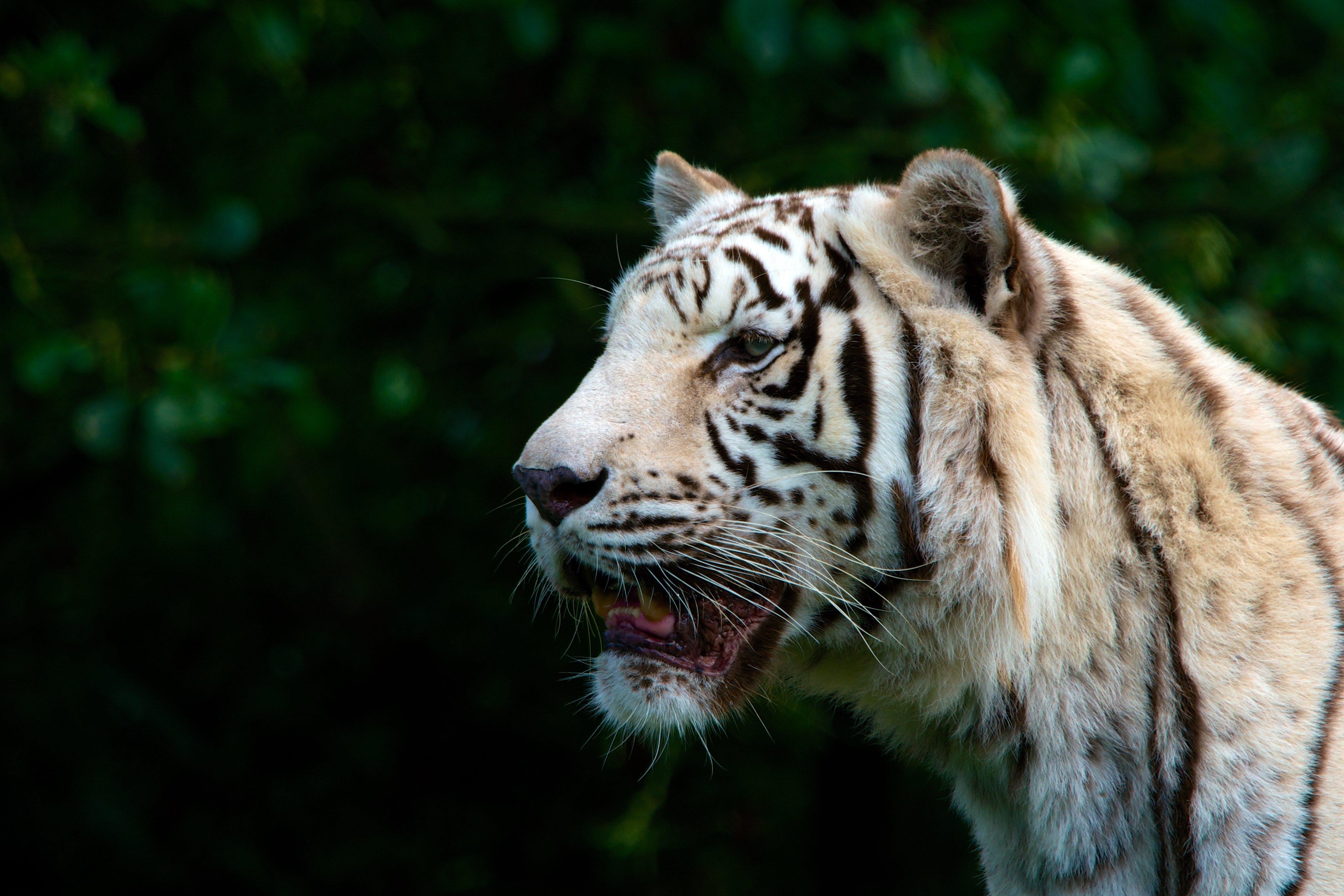 Tiger Near Trees
