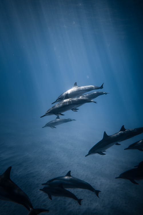 School of Dolphins in the Water