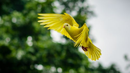 Flying Yellow Bird