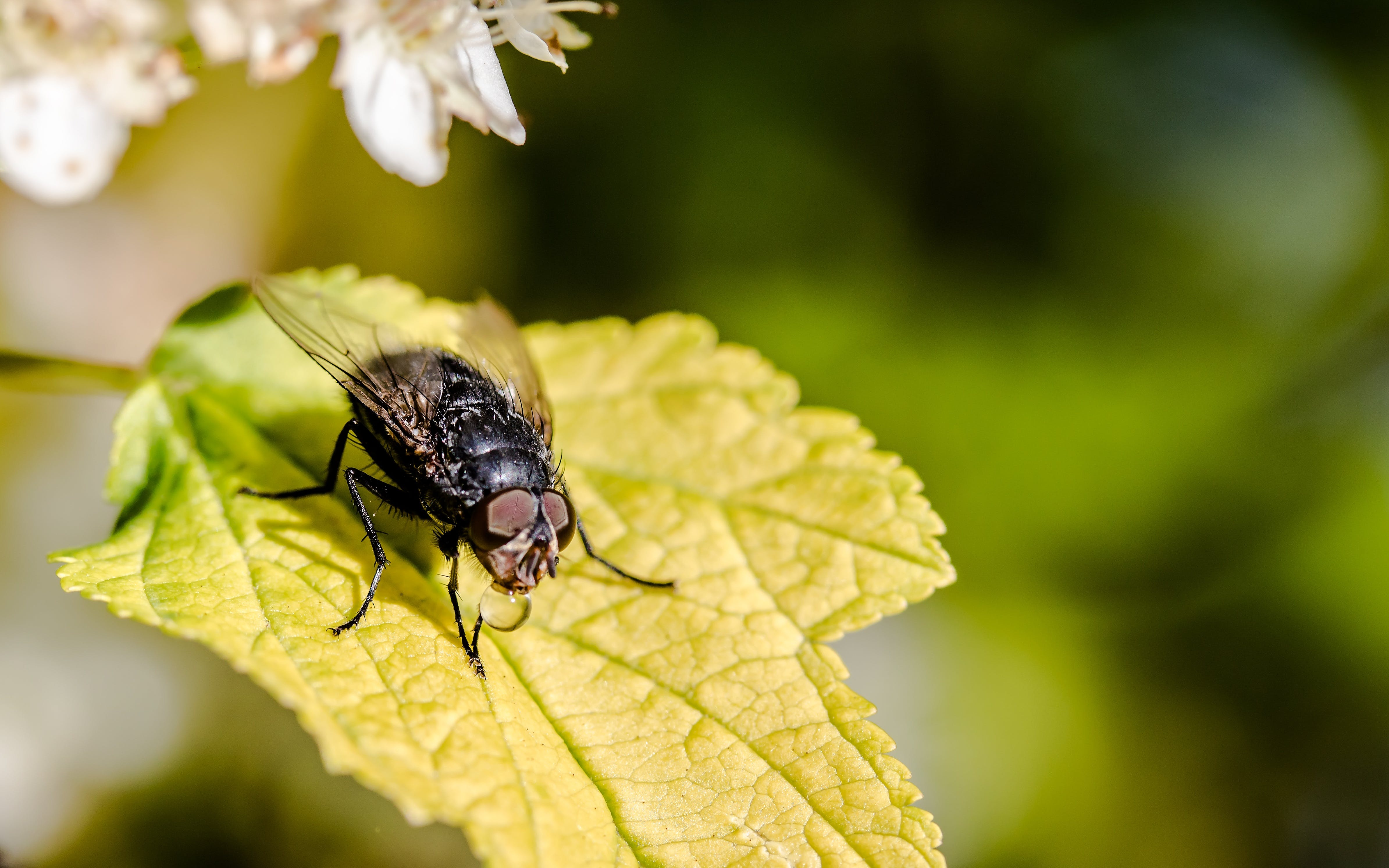 Macro Photography of Housefly on Maple Leaf