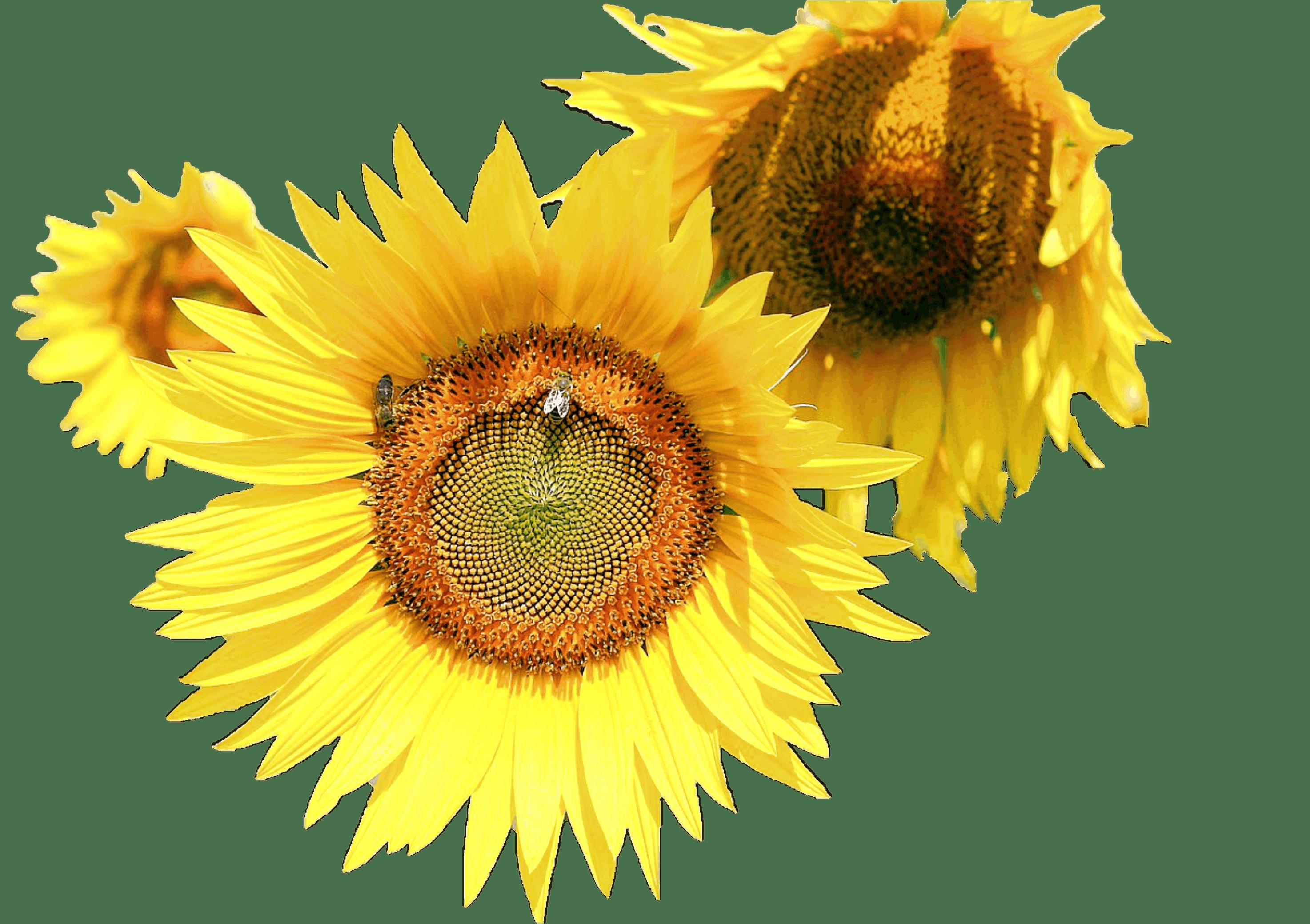 Free stock photo of nature, plant, sunflower, close