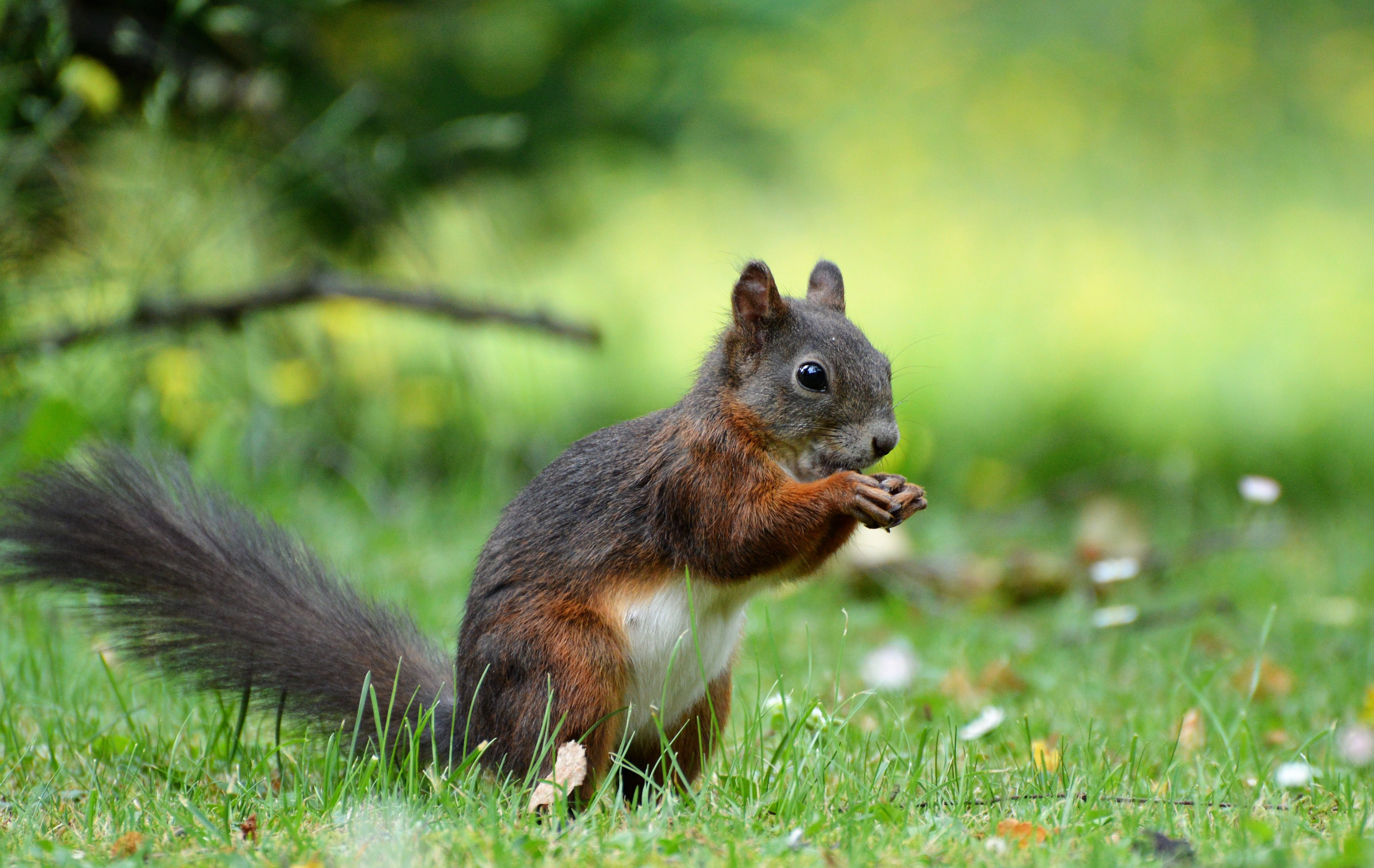 Red Squirrel on Grass Field