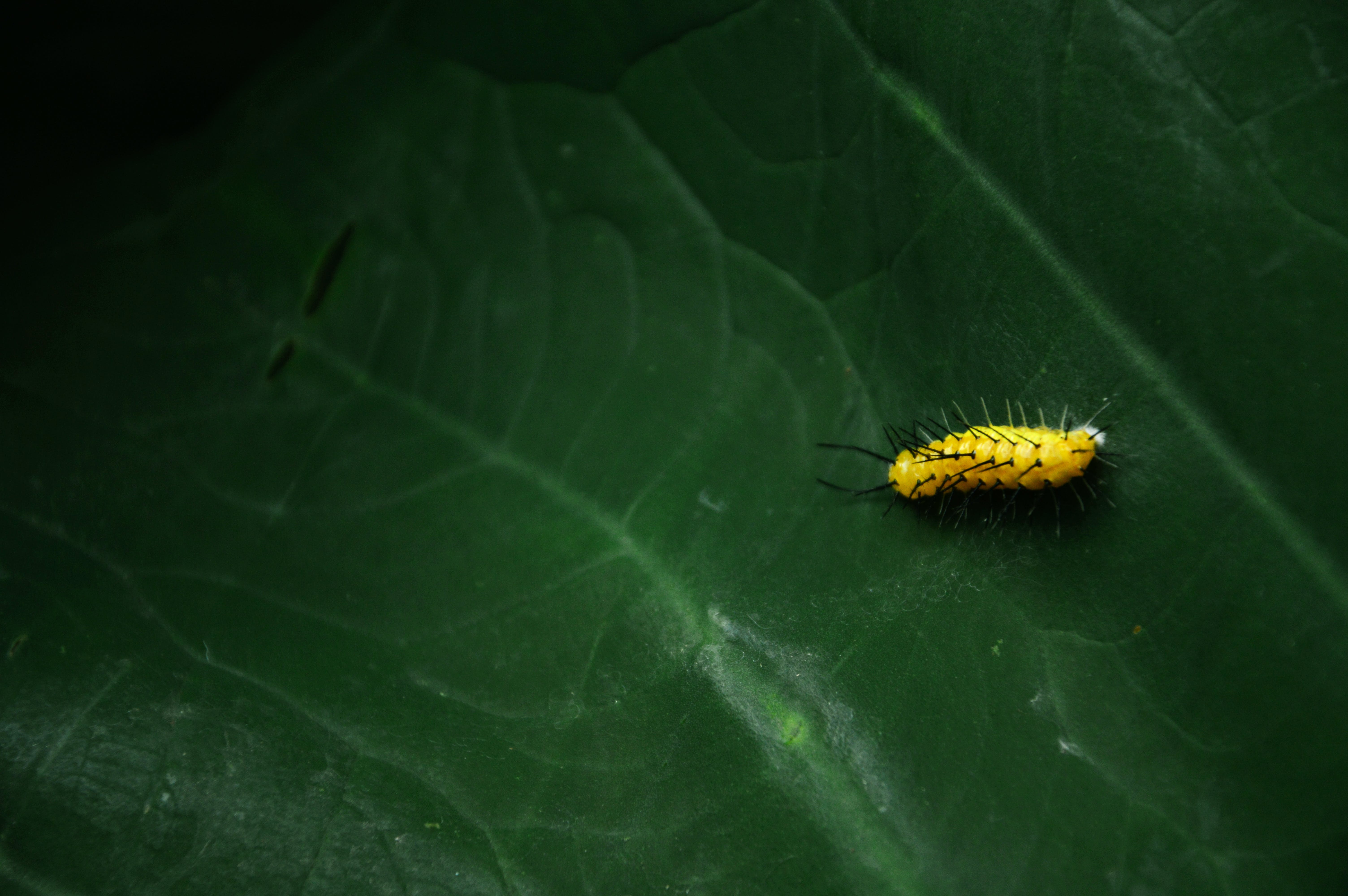 grøn, insekt, larve
